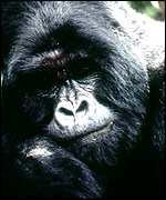 [ image: Two mountain gorillas were killed last month]