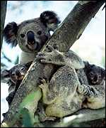 [ image: It's not just humans: a sighting of Queensland's first recorded wild koala twins]
