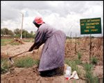 [ image: The pressure for land: A woman hoes on the outskirts of Harare - the sign says no cultivation.]