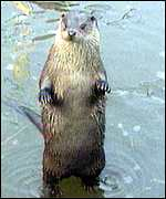 [ image: The otter's slow revival may accelerate]