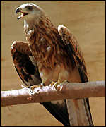 [ image: Red Kite: Best breeding for 100 years]