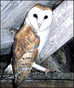 [ image: The barn owl: Threatened by changing farming methods]