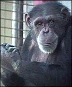 [ image: HIV found in this species of chimp]