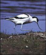 [ image: Dingle marshes are home to the striking avocet]