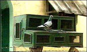Carrier pigeons in India [photo copyright BBC News]