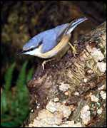 [ image: The Nuthatch is a southern bird gone north]