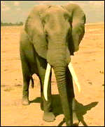 [ image: African elephant - may carry virus, but no lethal effects]