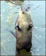 [ image: Otters are slowly returning in Britain]