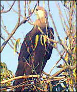 Pallas's fish eagles
