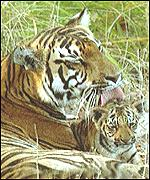 [ image: Three of eight tiger species are already extinct]