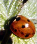 [ image: New study suggests ladybirds are at risk]