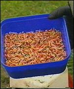 [ image: Maggots are traditionally associated with death and fishing]