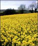 [ image: Oilseed rape is often treated with lindane]