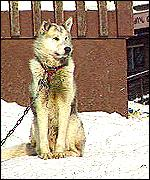 Huskies are used to the harsh climate
