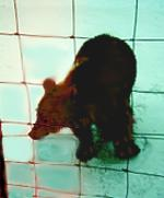 [ image: Estonia's brown bears may end up in enclosures like this]
