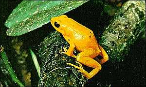 bbc news sci tech climate claims the golden toad