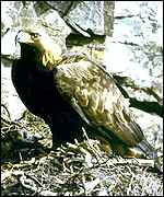 [ image: The pair of eagles are thought to have nested in the area for several years]