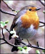 [ image: The robin showed a modest increase]