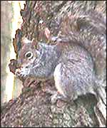 [ image: Nature reserve will keep grey squirrels at bay]