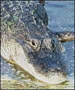 [ image: Florida: Uniquely home to crocs and alligators]