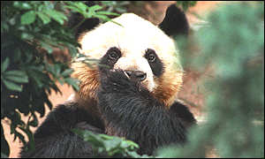 Giant pandas are notoriously reluctant to reproduce