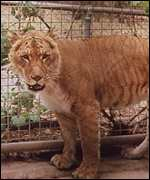 [ image: The liger: Cross-breeding can blur the definition of a species]