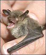 [ image: Some bat species are in 'substantial decline']