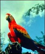 [ image: The scarlet macaw: Imperilled by the wildlife trade]