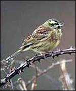 [ image: The cirl bunting: One of the success stories]