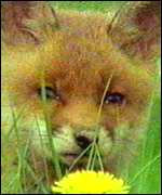 fox and dandelion