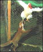 fox biting chicken