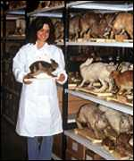 [ image: Dr Surridge with 100-year-old rabbits at Leiden Museum in the Netherlands (Photo University of East Anglia)]