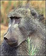 [ image: Baboons: Less expensive to rear than chimps]