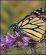 [ image: Monarch butterfly: a sharp contrast]