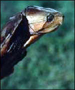 [ image: The Chinese bighead turtle: Demand is soaring (Photo: Turtle and Tortoise Preservation Group)]