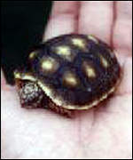 [ image: Some tortoise species are at risk as well (Photo: TTPG)]