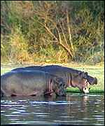 [ image: Hippo and whale both