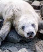 [ image: Seals: In trouble from Siberia to the southern seas]