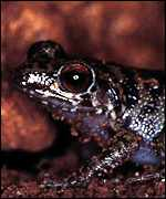 [ image: The Guanahacabibes Robber Frog from Cuba (WWF-Canon/Kevin Schafer)]