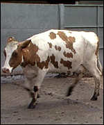 Cow with BSE