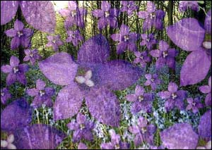 image: [ Bluebells - the woodland flower that could help in the battle against disease ]