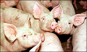 image: [ Pigs in a stable in the village of Vesbeck in Lower Saxony where the disease may have spread. ]