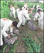 [ image: Green protesters destroy GM test crops]