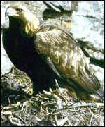 [ image: Five golden eagles were killed last year]