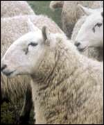 [ image: Gimmer, twinter or yow or tub?]