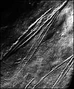 Microwear anslysis shows that sharp butchering marks made by flint tools.