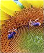 [ image: Cross pollination by bees could spread 'Terminator' plant genes]