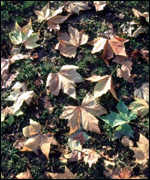 [ image: Leaf damage costs an estimated �10m a year]