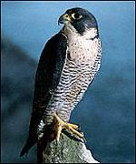[ image: Raptor groups help protect peregrines]