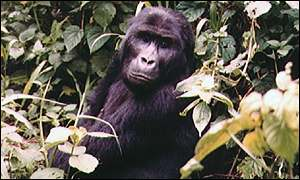 image: [ Half of the world's mountain gorillas live in the Congo region ]